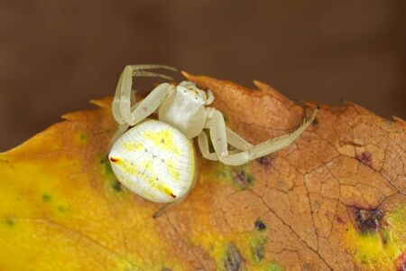 Flower crab spider (Family Thomisidae) sitting on a leaf, South Africa