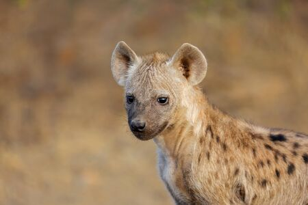 Portrait of a young spotted hyena (Crocuta crocuta), Kruger National Park, South Africa Stock Photo