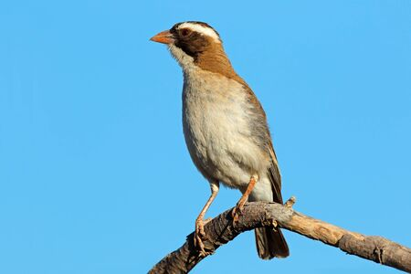 White-browed sparrow-weaver (Plocepasser mahali) perched on a branch, South Africa Stock Photo