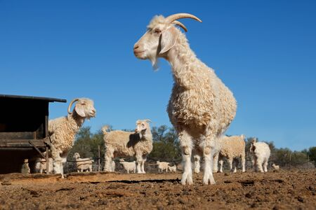 Angora goats in a paddock on a rural South African farm