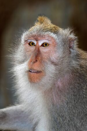 Portrait of a Balinese long-tailed monkey (Macaca fascicularis), Ubud, Bali, Indonesia