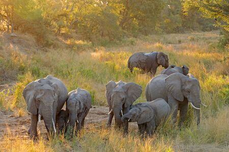 Herd of African elephants (Loxodonta africana) in late afternoon light, Kruger National Park, South Africa Stock Photo