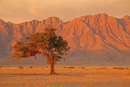 Namib desert landscape at sunset with rugged mountains and thorn tree, Namibia