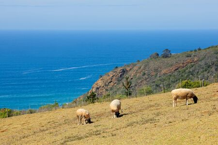 Sheep grazing on coastal pasture of a rural farm, South Africa