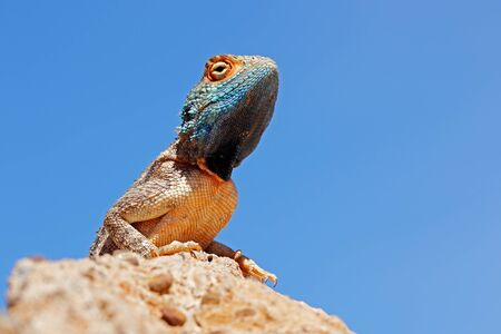 Portrait of a ground agama (Agama aculeata) sitting on a rock against a blue sky, South Africa