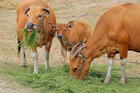 Bali cattle cows and calf - domesticated wild cattle (Javan banteng) from Bali, Indonesia Stock Photo