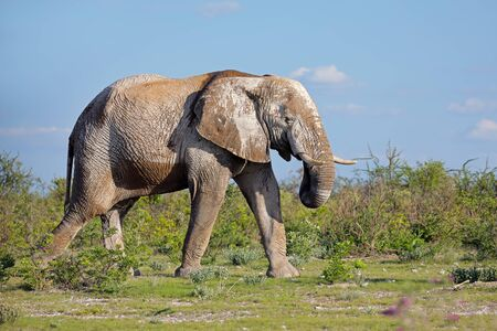 Large African elephant covered in mud, Etosha National Park, Namibia