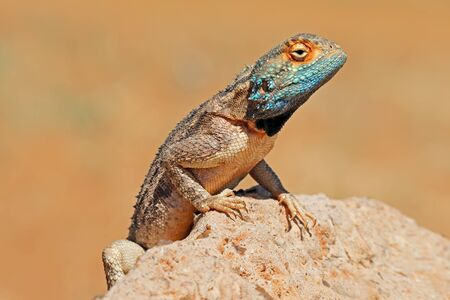 Portrait of a ground agama sitting on a rock, South Africa Stock Photo