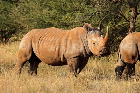 Endangered white rhinoceros (Ceratotherium simum) in natural habitat, South Africa Stock Photo