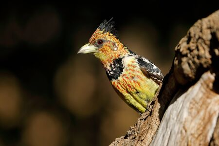 A crested barbet sitting in a tree, South Africa