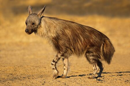 An alert brown hyena (Hyaena brunnea), Kalahari desert, South Africa Stock Photo