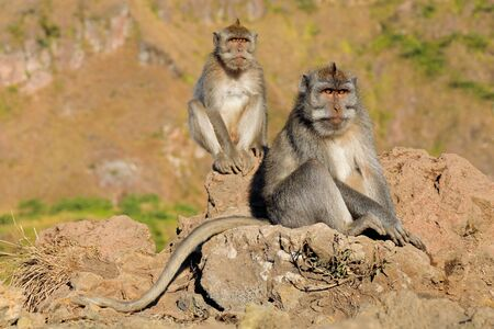 Balinese long-tailed monkeys (Macaca fascicularis) sitting on rocks, Ubud, Bali, Indonesia