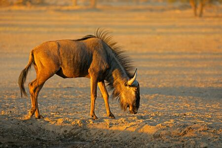 Blue wildebeest (Connochaetes taurinus) in the arid Kalahari desert, South Africa