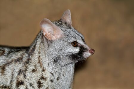 Close-up portrait of a large-spotted genet (Genetta tigrina), South Africa