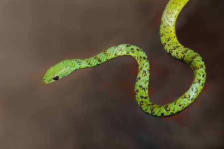 Close-up of an alert spotted bush snake (Philothamnus semivariegatus), South Africa