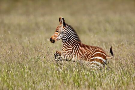 Cape mountain zebra (Equus zebra) foal running, Mountain Zebra National Park, South Africa Stock Photo