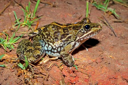 A Cape river frog (Amietia fuscigula) sitting in natural habitat, South Africa