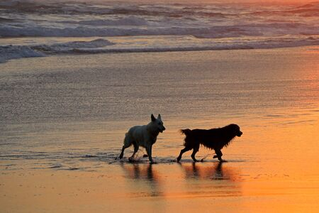 Silhouetted dogs running and playing on a scenic sandy beach at sunset