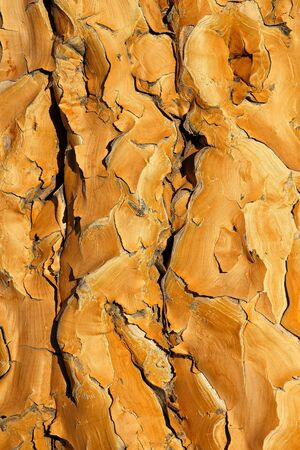 Close-up background of the yellow, papery bark of a quiver tree (Aloe dichotoma), southern Africa