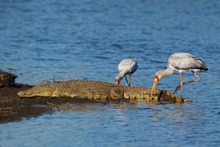 A Nile crocodile basking in shallow water with foraging yellow-billed storks, Kruger National Park, South Africa Stock Photo