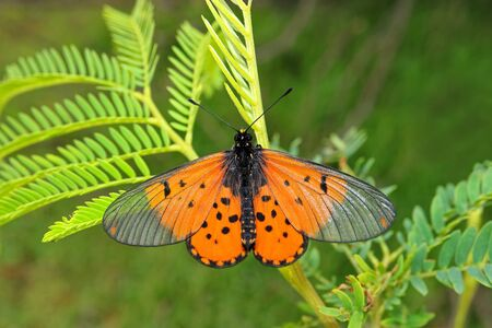 A colorful garden acraea butterfly (Acreae horta) sitting on a plant, South Africa