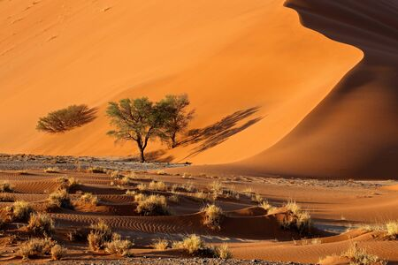 Large red sand dune with thorn trees, Sossusvlei, Namib desert, Namibia