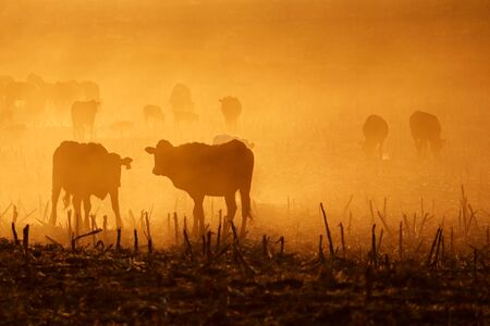 Silhouette of free-range cattle walking on dusty field at sunset, South Africa Stock Photo