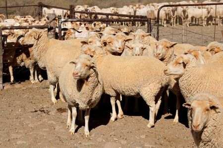 Merino sheep in a paddock on a rural South African farm