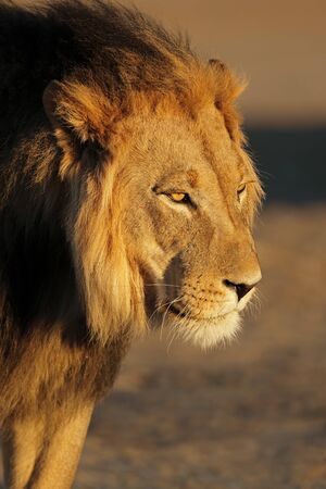 Portrait of a big male African lion (Panthera leo) in late afternoon light, Kalahari desert, South Africa Stock Photo