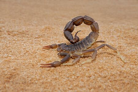 Granulated thick-tailed scorpion (Parabuthus granulatus), Kalahari desert, South Africa Stock Photo