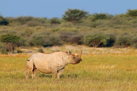 An endangered black rhinoceros (Diceros bicornis) in natural habitat, South Africa