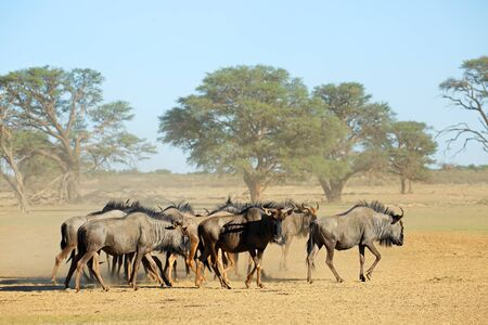 Herd of blue wildebeest (Connochaetes taurinus) in a dusty dry riverbed, Kalahari desert, South Africa