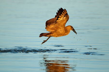 A hamerkop bird (Scopus umbretta) in flight over water, Kruger National Park, South Africa Stock Photo