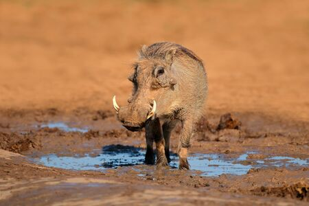 A warthog (Phacochoerus africanus) at a natural waterhole, South Africa Stock Photo
