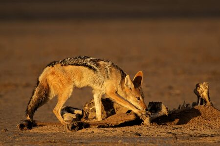 Black-backed jackals (Canis mesomelas) scavenging the remains of an antelope, Kalahari, South Africa Stock Photo