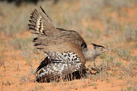 Male kori bustard (Ardeotis kori) displaying, Kalahari desert, South Africa