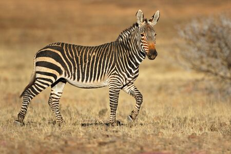 Cape mountain zebra (Equus zebra) in natural habitat, Mountain Zebra National Park, South Africa Stock Photo