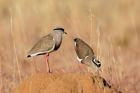 Two crowned plovers (Vanellus coronatus) standing on an anthill, South Africa