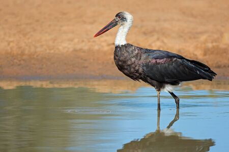 Woolly-necked stork (Ciconia episcopus) standing in shallow water, South Africa