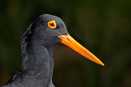 Portrait of a rare African black oystercatcher (Haematopus moquini) on black, South Africa