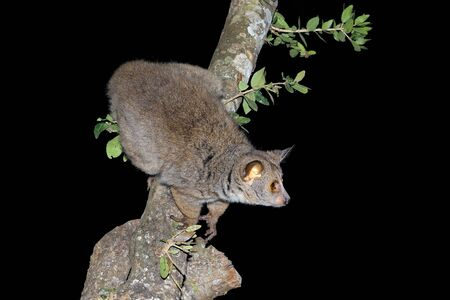 Nocturnal greater galago or bushbaby (Otolemur crassicaudatus) in a tree, South Africa