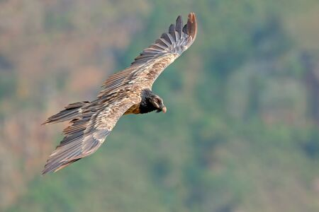 An endangered bearded vulture (Gypaetus barbatus) in flight, South Africa Stock Photo