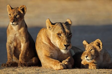 A lioness with cubs (Panthera leo) in early morning light, Kalahari desert, South Africa Stock Photo