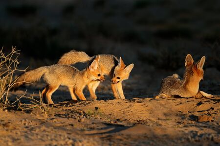 Cape foxes (Vulpes chama) at their den in early morning light, Kalahari desert, South Africa Stock Photo