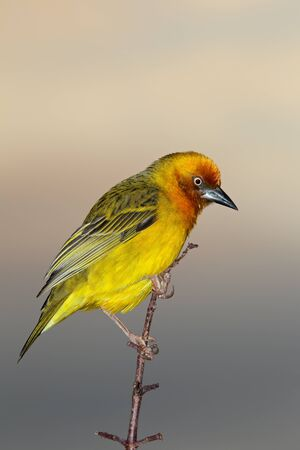Male Cape weaver (Ploceus capensis) perched on a branch, South Africa Stock Photo