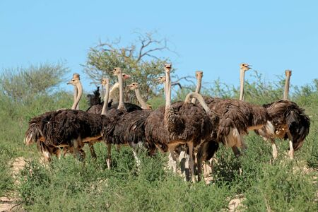 Group of ostriches (Struthio camelus) in natural habitat, Kalahari desert, South Africa