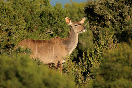 Female kudu antelope (Tragelaphus strepsiceros) in natural habitat, South Africa Stock Photo