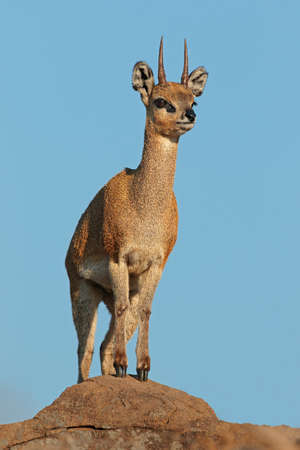 A small klipspringer antelope (Oreotragus oreotragus) standing on a rock, Kruger National Park, South Africa