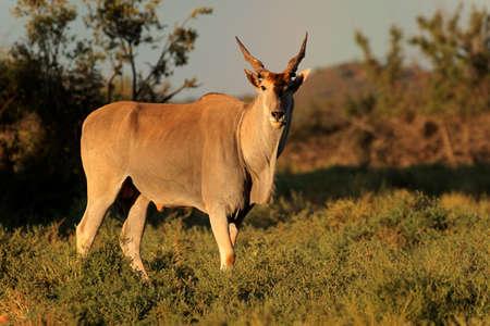 Male eland antelope (Tragelaphus oryx) in natural habitat, Mokala National Park, South Africa Stock Photo