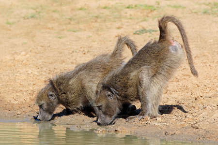 Two chacma baboons (Papio ursinus) drinking water, Mkuze game reserve, South Africa